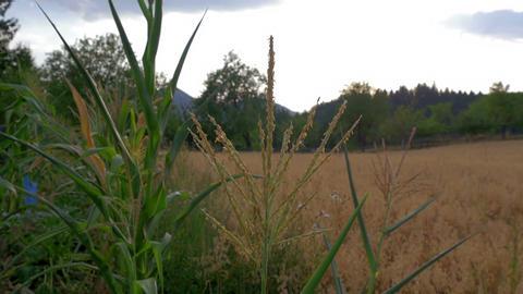 sweet corn flowers with ripe oats field in background in slow-motion Footage