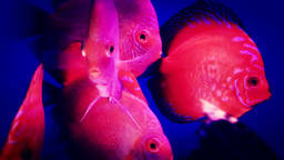 aquarium fishes floating closeup Image