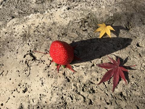red strawberry, red and yellow maple leaves フォト