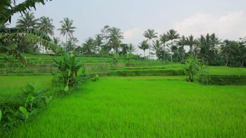 beautifful rice fields in bali Stock Video Footage