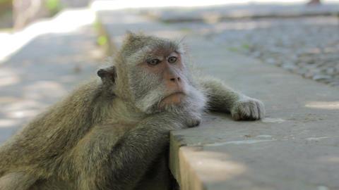 monkey thinking, uluwatu, bali Stock Video Footage