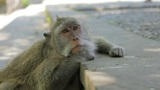 monkey thinking, uluwatu, bali Footage