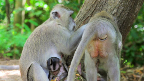 monkey family, uluwatu, bali Stock Video Footage