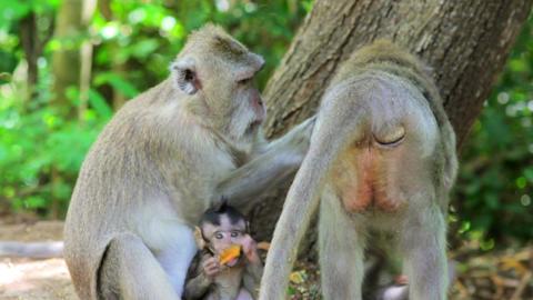 monkey family, uluwatu, bali Stock Video Footage