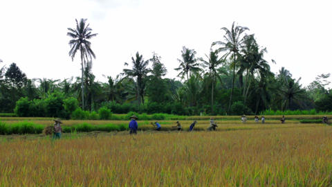 agriculture workers on rice field Stock Video Footage