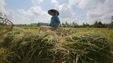 BALI - MAY 2012: workers on rice field Footage