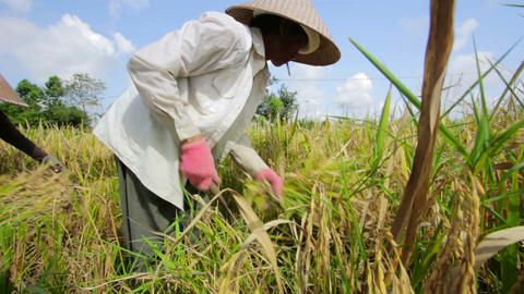 BALI - MAY 2012: workers on rice field Stock Video Footage