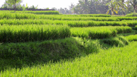 beautifful rice fields in bali Stock Video Footage