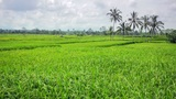 beautifful rice fields in bali Footage