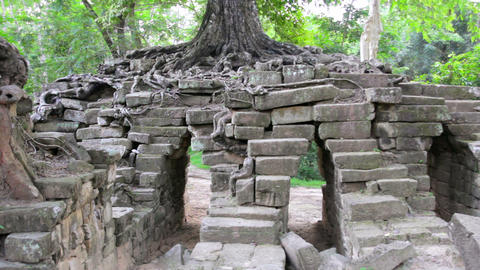 huge tropical tree growing over stones Footage