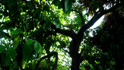 lime tree with fruit. Slow motion Footage