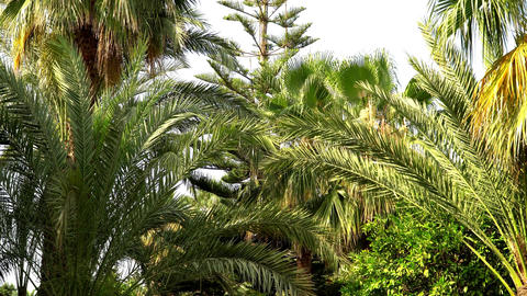 Views of palm trees and pine southern tree Footage