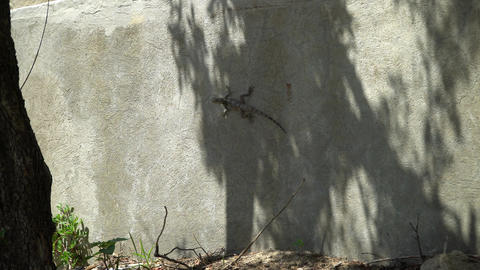 Gray lizard, sitting on a concrete wall Footage