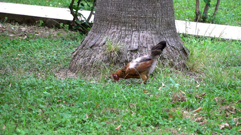 brown hen looking for food in the grass Footage