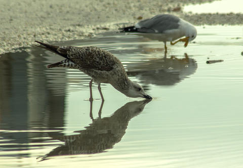 Seagull and water - reflections フォト