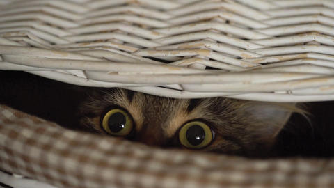 Tabby cat peeking out of a wooden basket Footage
