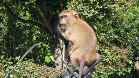 Cute Wild Monkey Baby Licking Motorbike Mirror on Parking lot in Park. Phuket Footage