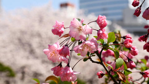 Blooming Cherry Blossom And Building In The City Center stock footage