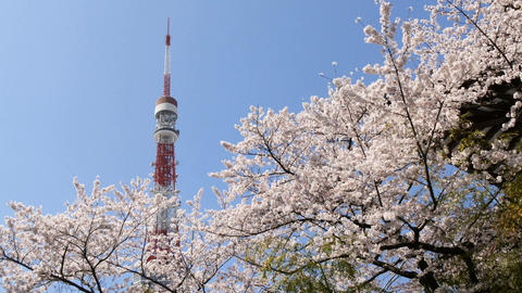 Blooming cherry blossom surround the Tokyo Tower in clear, blue skies Footage