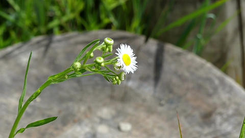 A white chamomile sways on a lawn near a boulder in summer Footage