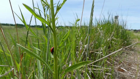 A red lady beetle with black spots crawls on a green plant Footage