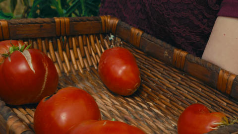 Red tomatoes at an organic sustainable farm Footage