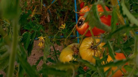 Red and yellow tomatoes at an organic sustainable farm Footage