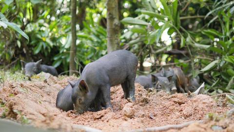 Small Cute Black Wild Boar Piglets Digging Ground Sand In Thai Rainforest Jungle Footage