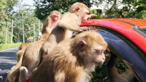Funny Wild Monkeys Licking Car Windows on Parking lot in Park. Phuket Town Footage