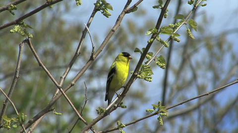 American goldfinch in spring tree Live Action
