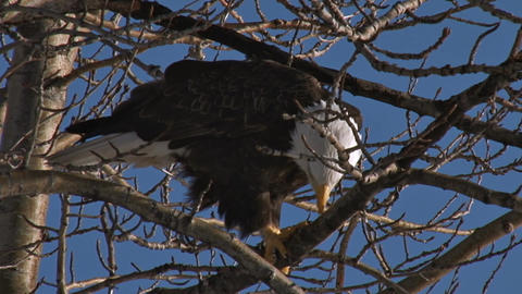 Bald eagle on tree branches Live Action