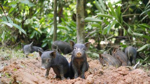 Small Cute Black Wild Boar Piglets Digging Ground In Thai Rainforest Jungle Footage