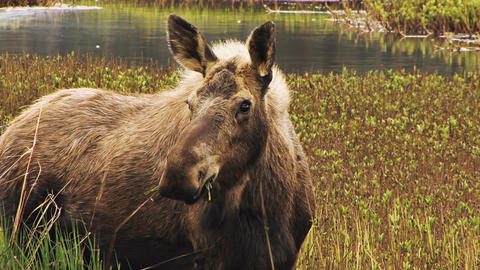 Adult moose eating in marshland Live Action