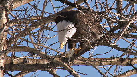Bald eagle eating fish in cottonwood tree Live Action