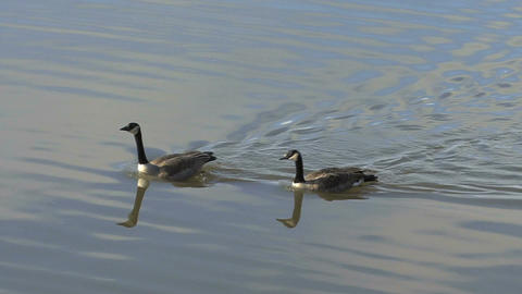 Canada geese Footage