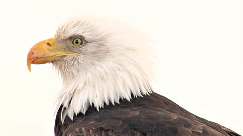 Bald eagle with scarred beak looking around Footage