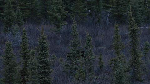 Black bear walking in dark yukon territory forest Footage