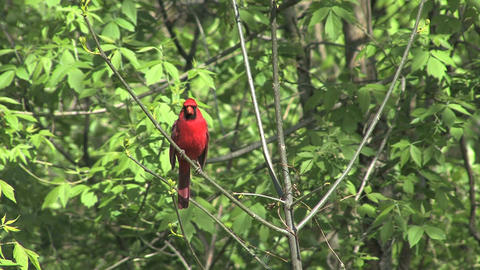 Cardinal in tree with green leaves Live Action