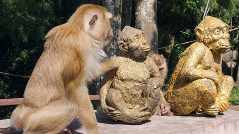 Wild Monkeys Sitting with Primate Statue in Tropical Park. Phuket Town Monkey Footage
