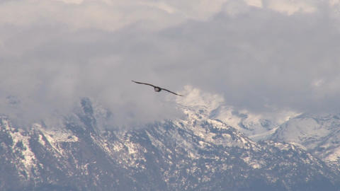 Bald eagle flying near snow covered mountains Footage