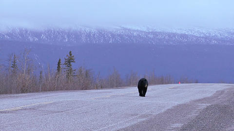 Black bear walking on yukon territory highway Live Action