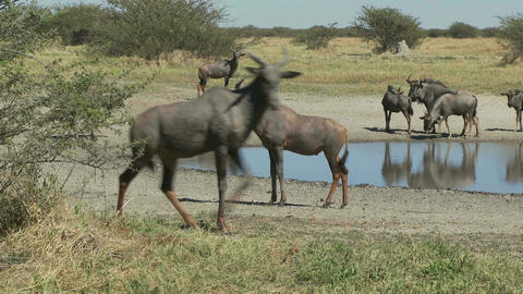 African animals near watering hole Live Action