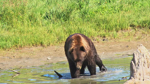 Brown bear walking in water Live Action