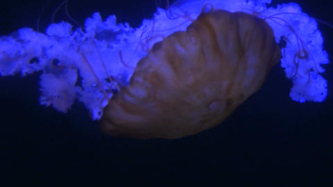 Camera tracks large glowing jellyfish drifting through dark water Footage