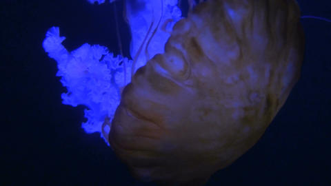 Camera tracks large glowing jellyfish drifting through... Stock Video Footage