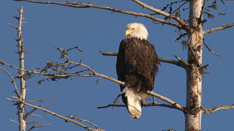 American bald eagle perched on dead spruce tree branch Live Action