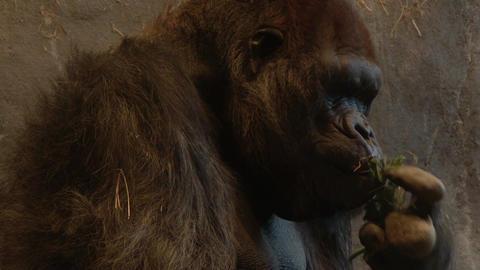Ape eating straw Footage