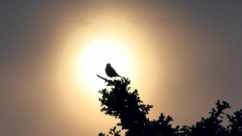Bird chirping in treetop backlit by setting sun Live Action