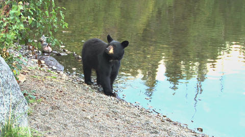 Black bear standing by lake shoreline runs away Live Action