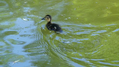 A fluffy duckling swims to its mother duck in green lake waters Footage